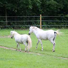 two small white ponies